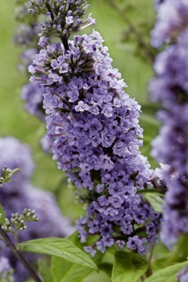Buddleja High Five Purple flower image