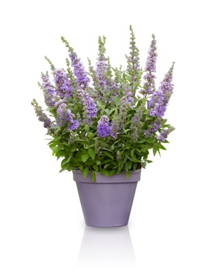 Buddleja High Five Purple in pot
