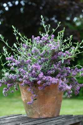 Buddleja Unique in pot
