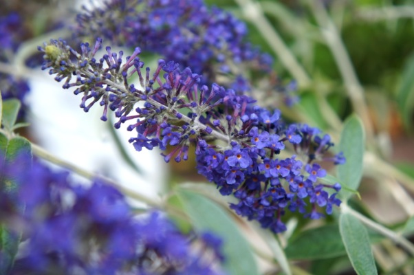 Buddleja Adonis Blue flower close-up