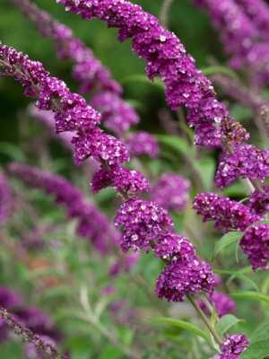 Buddleja Berries & Cream flower image