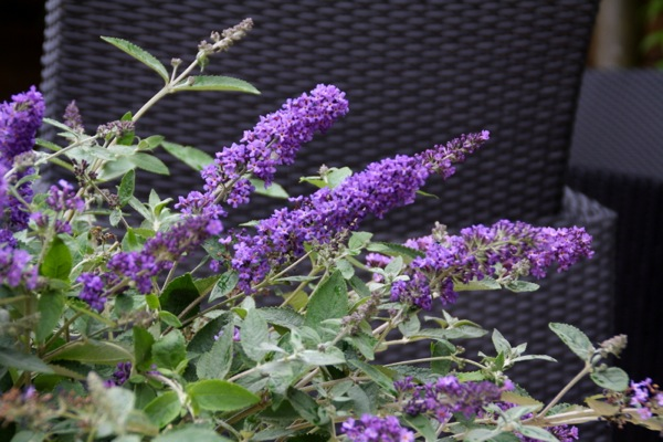 Buddleja Free Petite© Blue Heaven flower image
