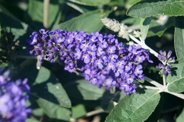 Buddleja Free Petite© Blue Heaven flower close-up