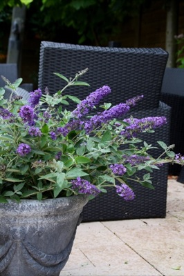 Buddleja Free Petite© Blue Heaven on patio