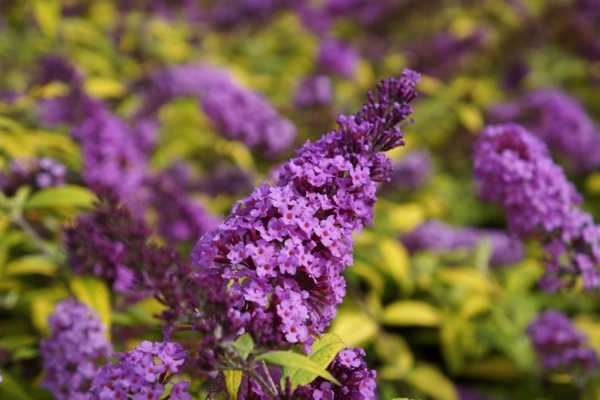 Buddleja Moonshine flower image
