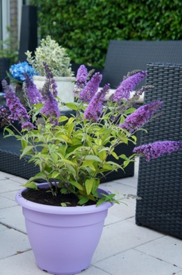 Buddleja Moonshine on patio