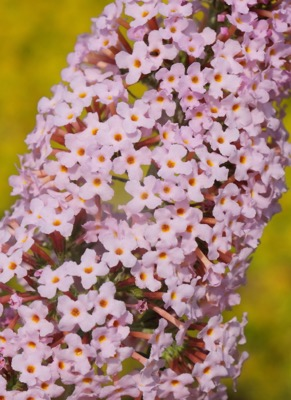 Buddleja Pink Panther flower image