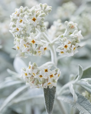 Buddleja Silver Anniversary flower close-up