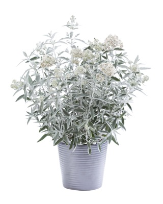 Buddleja Silver Anniversary in pot