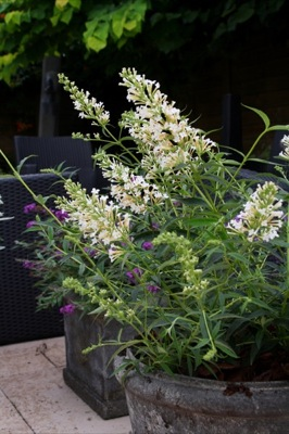Buddleja Free Petite© Snow White on patio