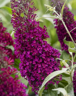 Buddleja Sugar Plum flower image