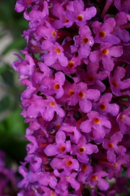 Buddleja Free Petite© Tutti Fruitti flower close-up