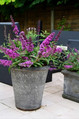 Buddleja Free Petite© Tutti Fruitti in pot
