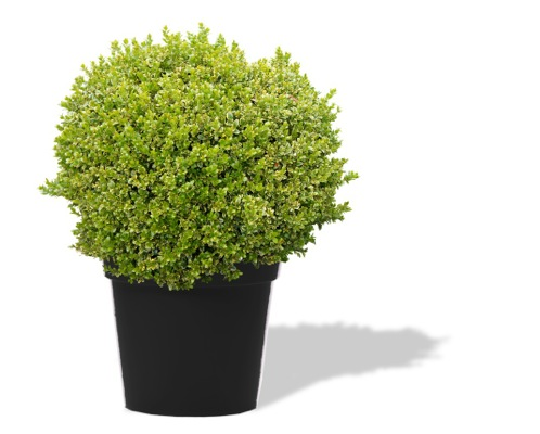 Buxus Golden Triumph in pot