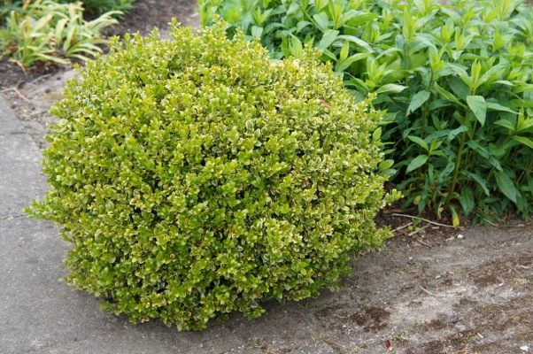 Buxus Golden Triumph in garden