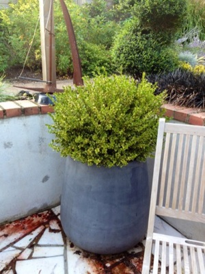 Buxus Golden Triumph on patio