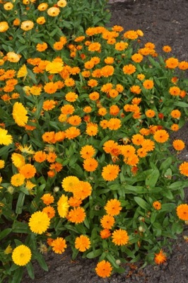 Calendula Winter Wonders® Peach Polar flower image