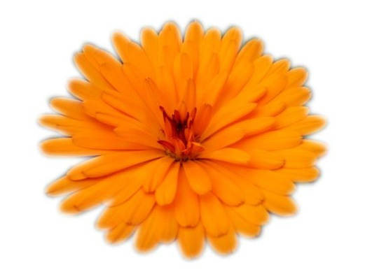 Calendula Winter Wonders® Peach Polar flower close-up