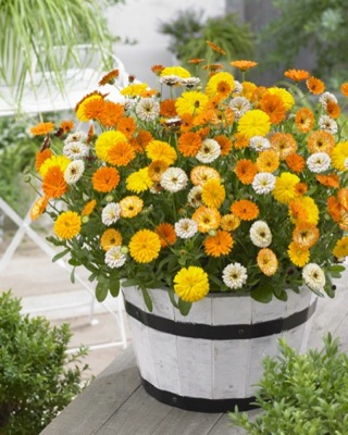 Calendula Winter Wonders® Peach Polar on patio
