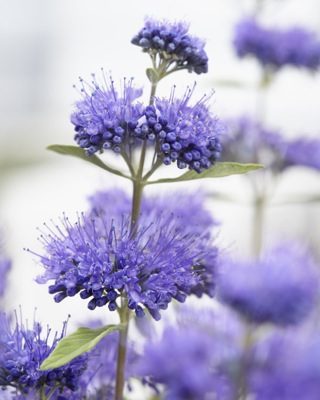 Caryopteris Blue Empire flower close-up
