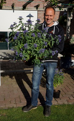 Caryopteris Blue Empire with breeder
