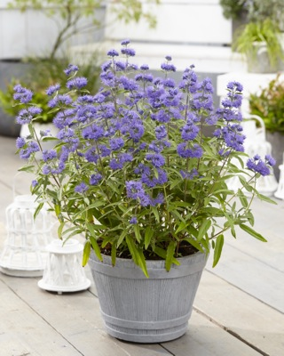 Caryopteris Blue Empire on patio