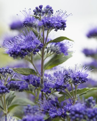 Caryopteris Grand Bleu® flower close-up