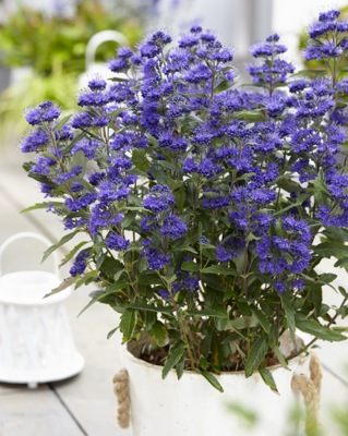 Caryopteris Grand Bleu® on patio