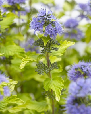 Caryopteris Hint of Gold flower close-up