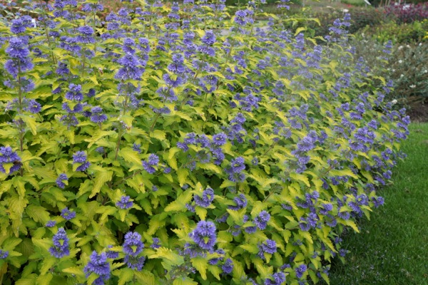 Caryopteris Hint of Gold in garden