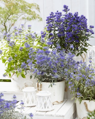 Caryopteris Hint of Gold on patio