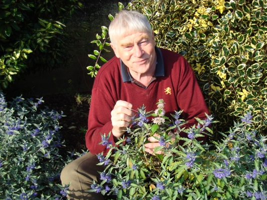 Caryopteris Sterling Silver with breeder