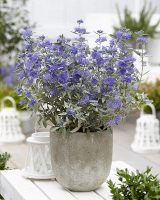 Caryopteris Sterling Silver on patio