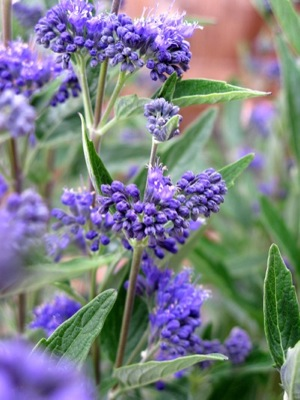 Caryopteris Thetis flower close-up