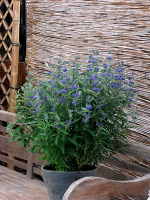 Caryopteris Thetis on patio