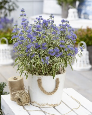 Caryopteris White Surprise on patio