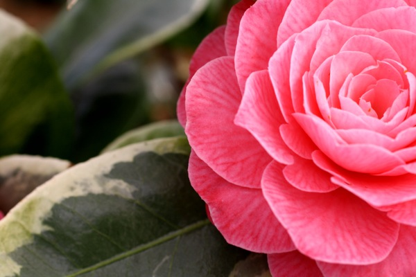 Camellia Kerguelen flower close-up