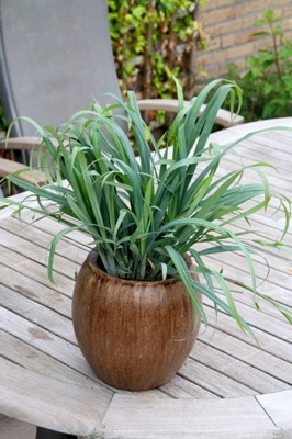 Carex Bunny Blue in pot