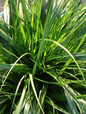 Carex EverColor® Everdi foliage close-up