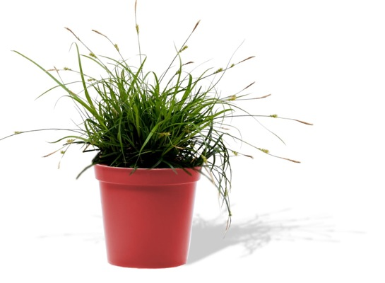 Carex EverColor® Everdi in pot