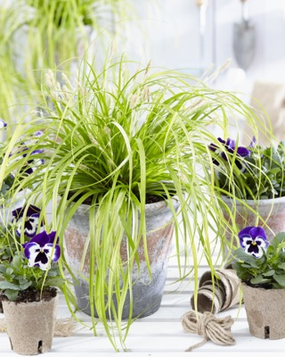Carex EverColor® Everillo on patio