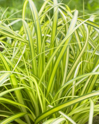 Carex EverColor® Eversheen foliage close-up