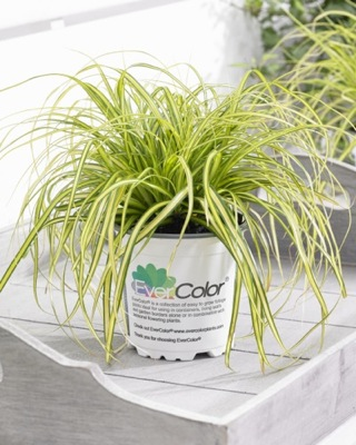 Carex EverColor® Eversheen in pot