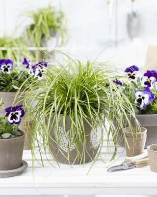 Carex EverColor® Eversheen on patio