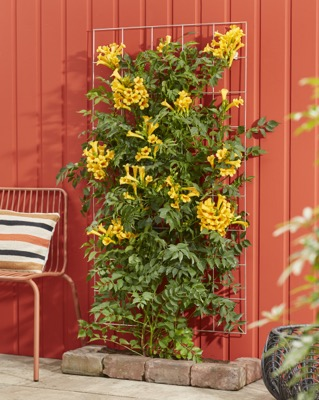 Campsis Golden Trumpet in garden