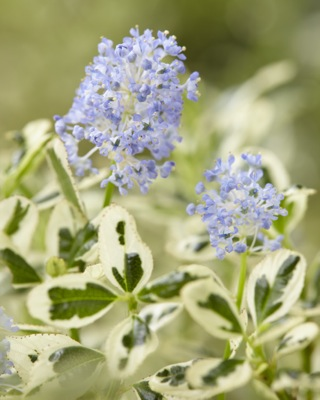 Ceanothus Cool Blue flower close-up