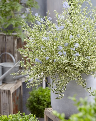 Ceanothus Cool Blue on patio