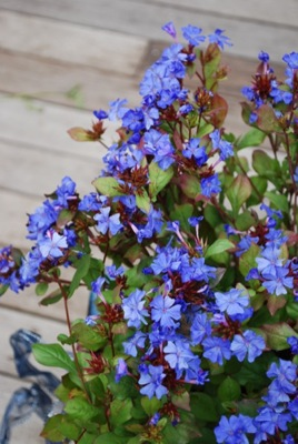 Ceratostigma Forest Blue flower image