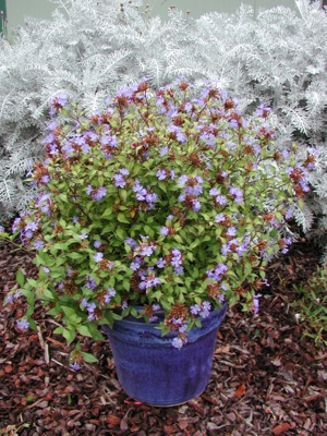 Ceratostigma Forest Blue in pot
