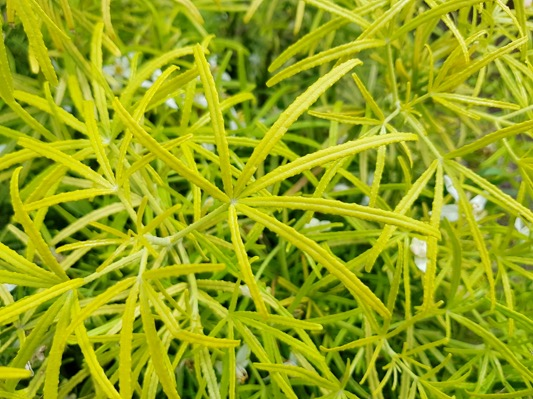 Choisya Royal Lace foliage close-up